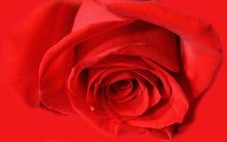O vermelho levantou-se Imagens de Stock Royalty Free