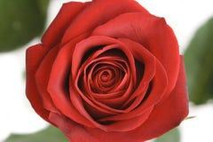 O vermelho levantou-se Fotografia de Stock Royalty Free