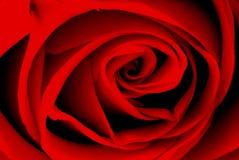 O vermelho levantou-se Foto de Stock