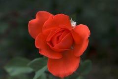 O vermelho levantou-se Foto de Stock Royalty Free
