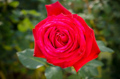 O vermelho levantou-se Fotos de Stock Royalty Free