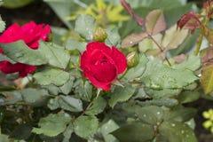 O vermelho levantou-se com folhas verdes fotografia de stock