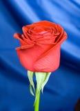 O vermelho levantou-se com fundo Imagens de Stock Royalty Free