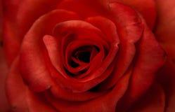 O vermelho levantou-se com fundo preto Fotografia de Stock Royalty Free