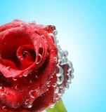 O vermelho levantou-se com gotas Imagens de Stock Royalty Free