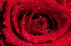 O vermelho levantou-se com gotas foto de stock royalty free
