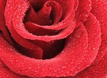 O vermelho levantou-se com gotas da água Imagem de Stock