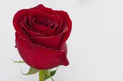 O vermelho levantou-se com gotas da água Imagem de Stock Royalty Free