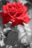 O vermelho levantou-se em B&W e em cor Imagem de Stock