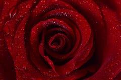 O vermelho levantou-se em gotas da água imagens de stock royalty free