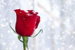 O vermelho levantou-se em um fundo branco Imagens de Stock Royalty Free