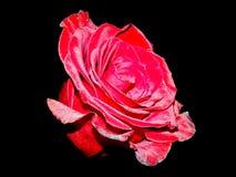 O vermelho levantou-se em um fundo preto fotos de stock royalty free