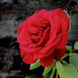 O vermelho levantou-se em um fundo preto imagens de stock royalty free