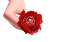O vermelho levantou-se em uma mão fêmea Imagens de Stock