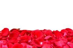 O vermelho levantou-se Isolado com um fundo branco Fotos de Stock Royalty Free