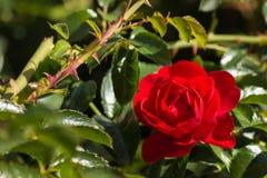 O vermelho levantou-se na flor Fotografia de Stock Royalty Free