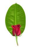 O vermelho levantou-se na folha verde Imagens de Stock