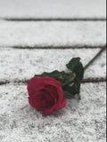 O vermelho levantou-se na neve Imagem de Stock