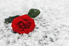 O vermelho levantou-se na neve Imagens de Stock