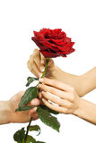 O vermelho levantou-se nas mãos da fêmea e do homem imagem de stock royalty free