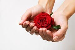 O vermelho levantou-se nas mãos fêmeas Fotos de Stock Royalty Free
