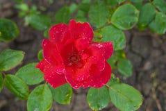 O vermelho levantou-se no jardim Fotografia de Stock