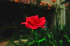 O vermelho levantou-se no jardim Foto de Stock Royalty Free
