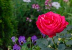 O vermelho levantou-se no jardim Fotos de Stock Royalty Free