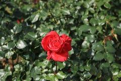 O vermelho levantou-se no jardim Fotografia de Stock Royalty Free