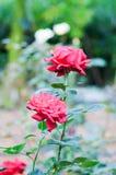 O vermelho levantou-se no jardim Imagens de Stock Royalty Free