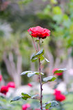 O vermelho levantou-se no jardim Imagem de Stock Royalty Free