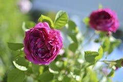 O vermelho levantou-se no jardim Conceito: fundo bonito, disposição para o cartão fotos de stock royalty free