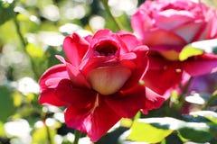 O vermelho levantou-se no jardim fotos de stock