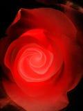 O vermelho levantou-se no preto Fotografia de Stock