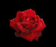 O vermelho levantou-se nos pingos de chuva isolados no preto Foto de Stock
