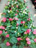 o vermelho lustroso sae da planta Foto de Stock Royalty Free
