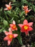 O vermelho modelou as tulipas que florescem em uma cama de flor imagens de stock royalty free