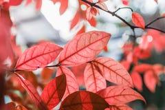 O vermelho novo fresco abstrato deixa a incandescência no foco verde da floresta, s Fotografia de Stock