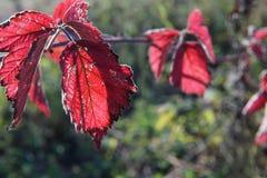 O vermelho orvalhado deixa gotas da água de chuva do close-up em flores fotos de stock royalty free