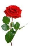 O vermelho perfeito levantou-se no branco Imagem de Stock Royalty Free