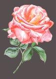 O vermelho realístico levantou-se watercolor Imagens de Stock Royalty Free