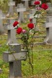 O vermelho transversal pequeno do whit levantou-se Imagem de Stock Royalty Free