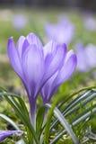 O vernus do açafrão na flor, a primavera decorativa roxa violeta floresce Imagens de Stock