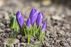 O vernus do açafrão na flor, a primavera decorativa roxa violeta floresce Imagem de Stock