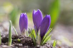 O vernus do açafrão na flor, a primavera decorativa roxa violeta floresce Imagem de Stock Royalty Free
