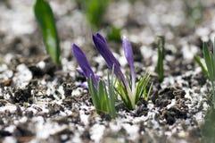 O vernus do açafrão na flor, a primavera decorativa roxa violeta floresce, neve na sujeira Imagens de Stock Royalty Free