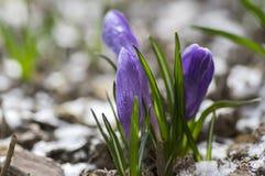O vernus do açafrão na flor, a primavera decorativa roxa violeta floresce, neve na sujeira Foto de Stock