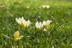 O vernus do açafrão que começa florescer, amarela e os botões brancos Imagem de Stock