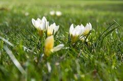 O vernus do açafrão que começa florescer, amarela e os botões brancos Imagem de Stock Royalty Free