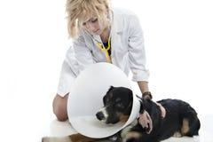 O veterinário atrativo examina o cão Fotos de Stock Royalty Free